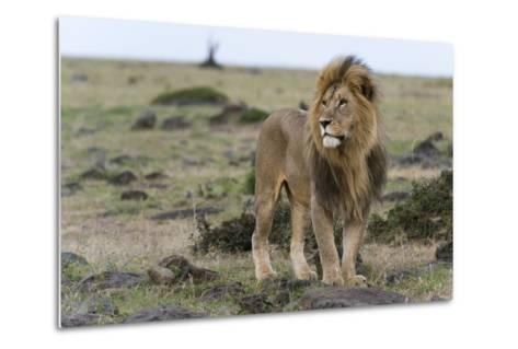 A Male Lion, Panthera Leo, Looking at the Surroundings-Sergio Pitamitz-Metal Print