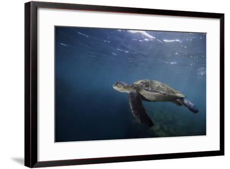 A Green Sea Turtle Swimming Underwater-Jad Davenport-Framed Art Print