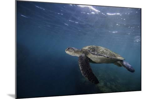 A Green Sea Turtle Swimming Underwater-Jad Davenport-Mounted Photographic Print