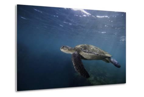 A Green Sea Turtle Swimming Underwater-Jad Davenport-Metal Print