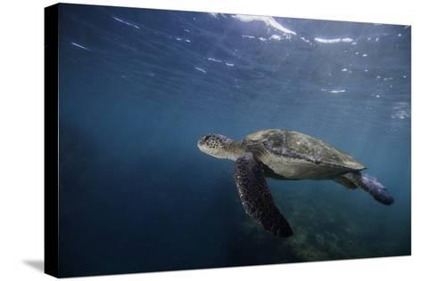 A Green Sea Turtle Swimming Underwater-Jad Davenport-Stretched Canvas Print