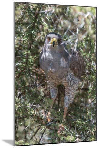Pale Chanting Goshawk, Melierax Canorus, Perching in a Thorny Tree-Tom Murphy-Mounted Photographic Print