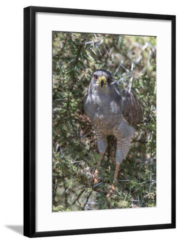 Pale Chanting Goshawk, Melierax Canorus, Perching in a Thorny Tree-Tom Murphy-Framed Art Print