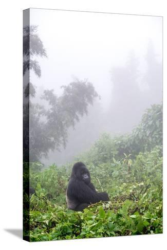 Mountain Gorilla, Gorilla Beringei Beringei, Sitting in Misty Forest-Tom Murphy-Stretched Canvas Print