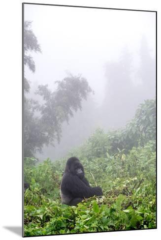 Mountain Gorilla, Gorilla Beringei Beringei, Sitting in Misty Forest-Tom Murphy-Mounted Photographic Print