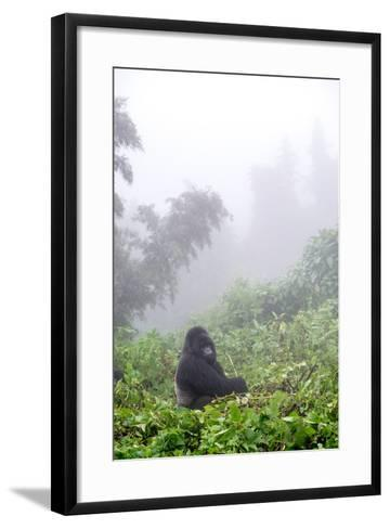 Mountain Gorilla, Gorilla Beringei Beringei, Sitting in Misty Forest-Tom Murphy-Framed Art Print