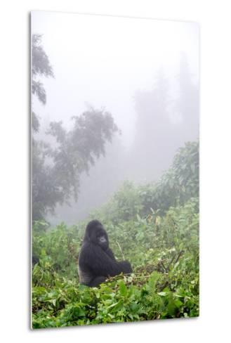 Mountain Gorilla, Gorilla Beringei Beringei, Sitting in Misty Forest-Tom Murphy-Metal Print