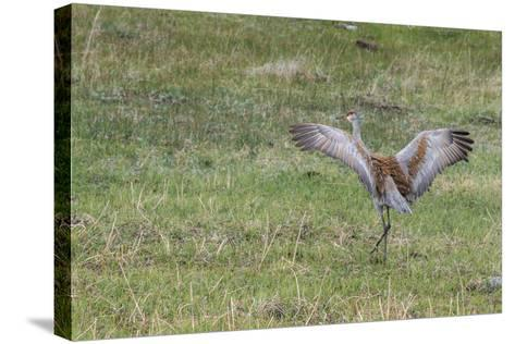 Sandhill Crane, Grus Canadensis, with Spread Wings-Tom Murphy-Stretched Canvas Print
