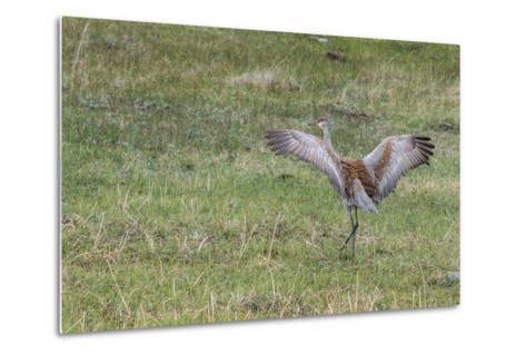 Sandhill Crane, Grus Canadensis, with Spread Wings-Tom Murphy-Metal Print
