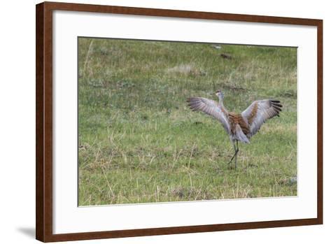 Sandhill Crane, Grus Canadensis, with Spread Wings-Tom Murphy-Framed Art Print