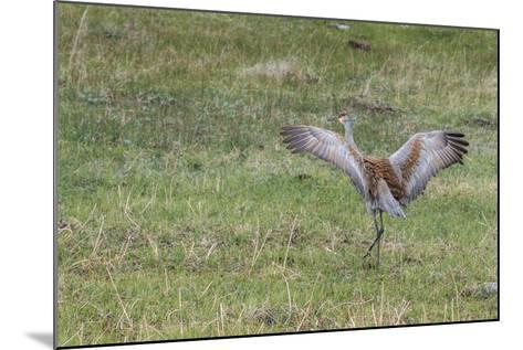 Sandhill Crane, Grus Canadensis, with Spread Wings-Tom Murphy-Mounted Photographic Print