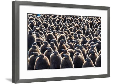 Colony of King Penguins, Aptenodytes Patagonicus, Chicks at South Georgia Island-Tom Murphy-Framed Art Print