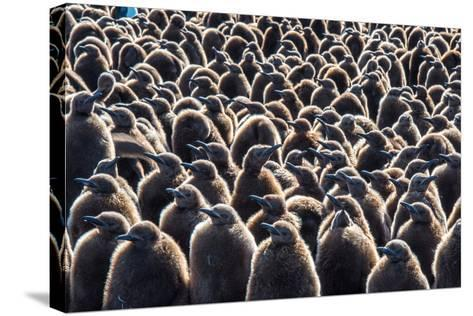 Colony of King Penguins, Aptenodytes Patagonicus, Chicks at South Georgia Island-Tom Murphy-Stretched Canvas Print
