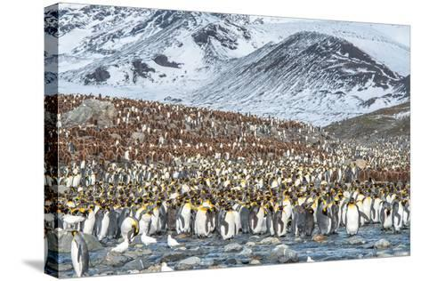 Colony of King Penguin, Aptenodytes Patagonicus-Tom Murphy-Stretched Canvas Print