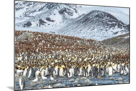 Colony of King Penguin, Aptenodytes Patagonicus-Tom Murphy-Mounted Photographic Print