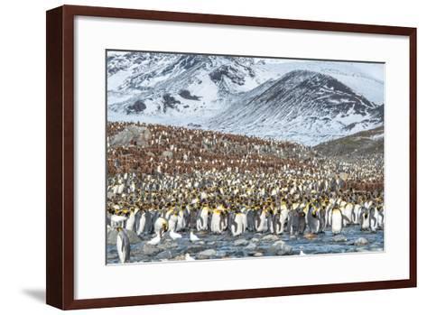 Colony of King Penguin, Aptenodytes Patagonicus-Tom Murphy-Framed Art Print