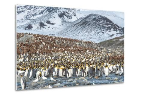 Colony of King Penguin, Aptenodytes Patagonicus-Tom Murphy-Metal Print