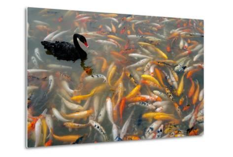 Black Swan, Cygnus Atratus, and Koi, Cyprinus Carpio, Swimming in the Water-Tyrone Turner-Metal Print