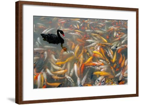 Black Swan, Cygnus Atratus, and Koi, Cyprinus Carpio, Swimming in the Water-Tyrone Turner-Framed Art Print