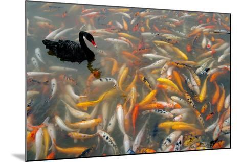 Black Swan, Cygnus Atratus, and Koi, Cyprinus Carpio, Swimming in the Water-Tyrone Turner-Mounted Photographic Print