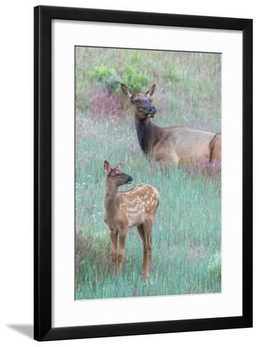 Elk Cow, Cervus Canadensis, Resting with its Calf-Tom Murphy-Framed Art Print