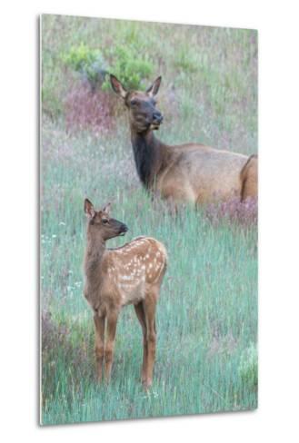 Elk Cow, Cervus Canadensis, Resting with its Calf-Tom Murphy-Metal Print