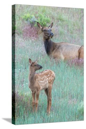 Elk Cow, Cervus Canadensis, Resting with its Calf-Tom Murphy-Stretched Canvas Print