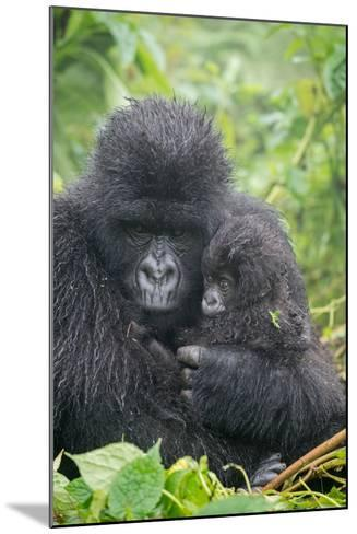 Portrait of Mountain Gorilla, Gorilla Beringei Beringei, with its Young-Tom Murphy-Mounted Photographic Print