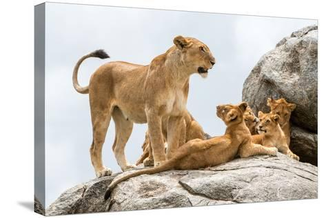 Lioness, Panthera Leo, with its Cubs on a Rock-Tom Murphy-Stretched Canvas Print