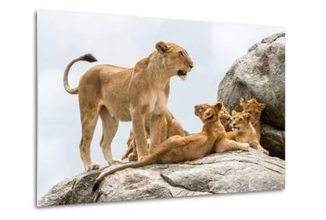 Lioness, Panthera Leo, with its Cubs on a Rock-Tom Murphy-Metal Print