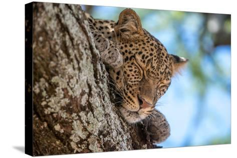 A Leopard, Panthera Pardus, Sleeping on the Branch of a Tree-Tom Murphy-Stretched Canvas Print