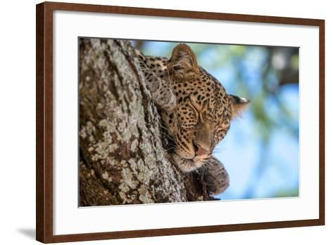 A Leopard, Panthera Pardus, Sleeping on the Branch of a Tree-Tom Murphy-Framed Art Print