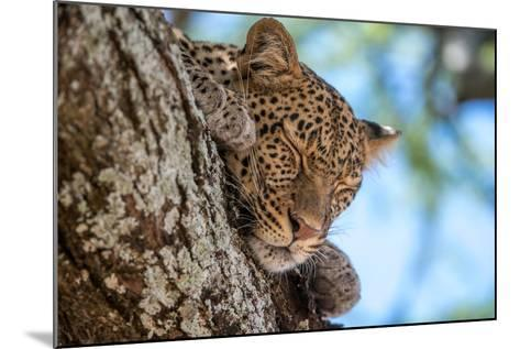 A Leopard, Panthera Pardus, Sleeping on the Branch of a Tree-Tom Murphy-Mounted Photographic Print