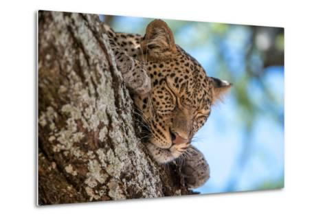 A Leopard, Panthera Pardus, Sleeping on the Branch of a Tree-Tom Murphy-Metal Print