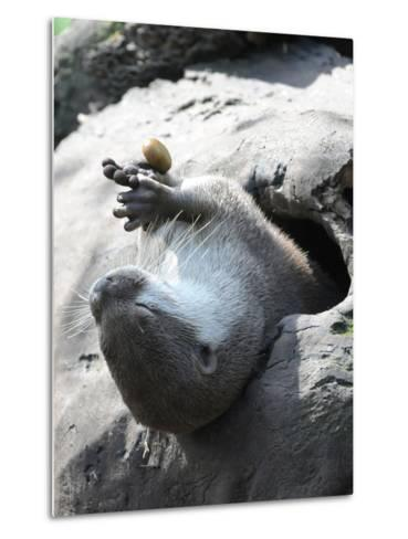 A Small-Clawed Otter, Amblonyx Cinereus, Playing with a Nut-Nicole Duplaix-Metal Print
