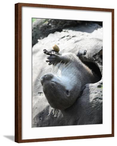 A Small-Clawed Otter, Amblonyx Cinereus, Playing with a Nut-Nicole Duplaix-Framed Art Print