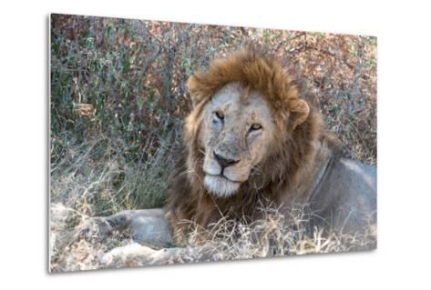 A Male Lion, Panthera Leo, in Serengeti National Park-Tom Murphy-Metal Print