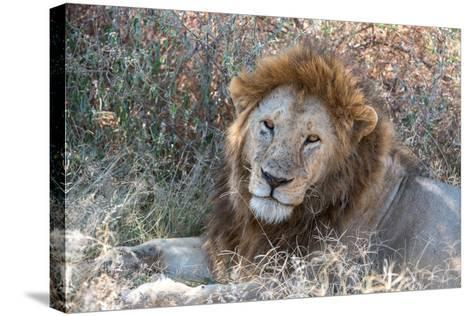 A Male Lion, Panthera Leo, in Serengeti National Park-Tom Murphy-Stretched Canvas Print