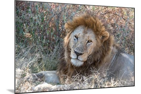 A Male Lion, Panthera Leo, in Serengeti National Park-Tom Murphy-Mounted Photographic Print