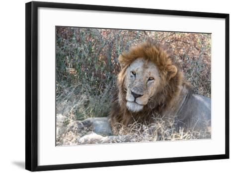 A Male Lion, Panthera Leo, in Serengeti National Park-Tom Murphy-Framed Art Print
