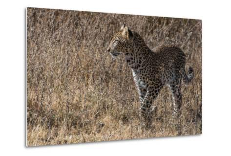 A Leopard, Panthera Pardus, in Serengeti National Park-Tom Murphy-Metal Print