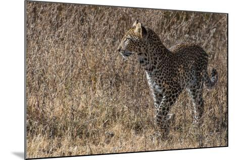 A Leopard, Panthera Pardus, in Serengeti National Park-Tom Murphy-Mounted Photographic Print