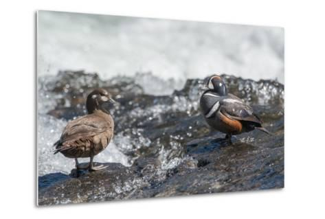 Male and Female Harlequin Ducks, Histrionicus Histrionicus, Standing at Water's Edge-Tom Murphy-Metal Print