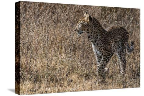 A Leopard, Panthera Pardus, in Serengeti National Park-Tom Murphy-Stretched Canvas Print