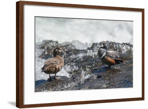 Male and Female Harlequin Ducks, Histrionicus Histrionicus, Standing at Water's Edge-Tom Murphy-Framed Art Print