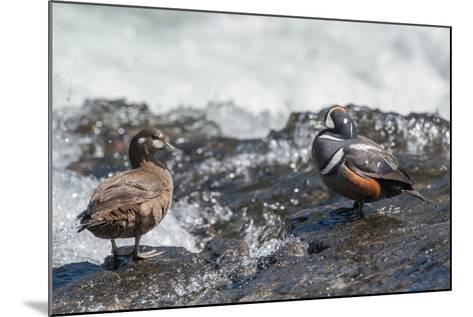 Male and Female Harlequin Ducks, Histrionicus Histrionicus, Standing at Water's Edge-Tom Murphy-Mounted Photographic Print
