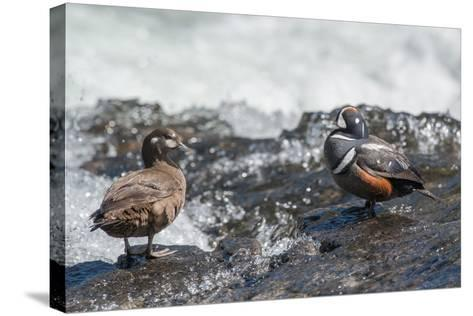Male and Female Harlequin Ducks, Histrionicus Histrionicus, Standing at Water's Edge-Tom Murphy-Stretched Canvas Print