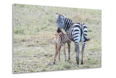A Plains Zebra, Equus Quagga, Nursing its Young in Serengeti National Park-Tom Murphy-Metal Print