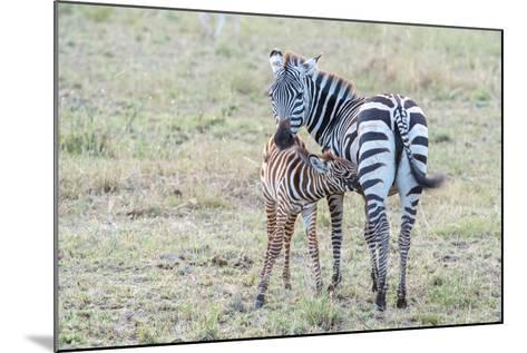 A Plains Zebra, Equus Quagga, Nursing its Young in Serengeti National Park-Tom Murphy-Mounted Photographic Print