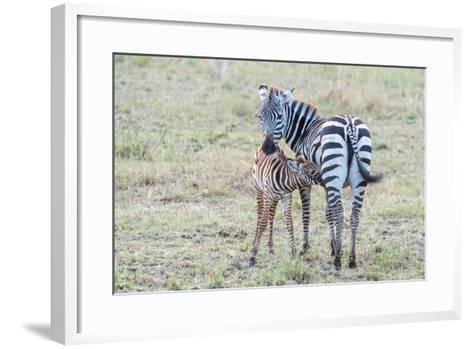 A Plains Zebra, Equus Quagga, Nursing its Young in Serengeti National Park-Tom Murphy-Framed Art Print